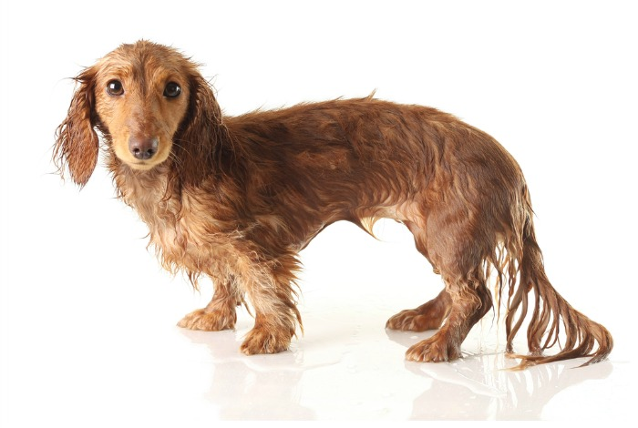 Wet Dachshund Slider