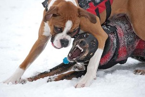 Dog Fights – Are You Prepared?