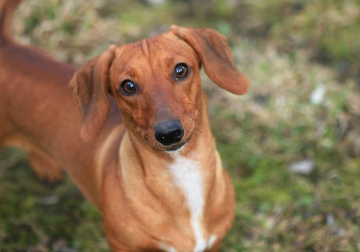 Weiner Vs Wiener And Other Nicknames For A Dachshund