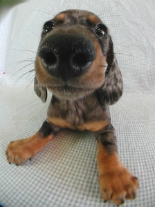 smooth_dachshund-1
