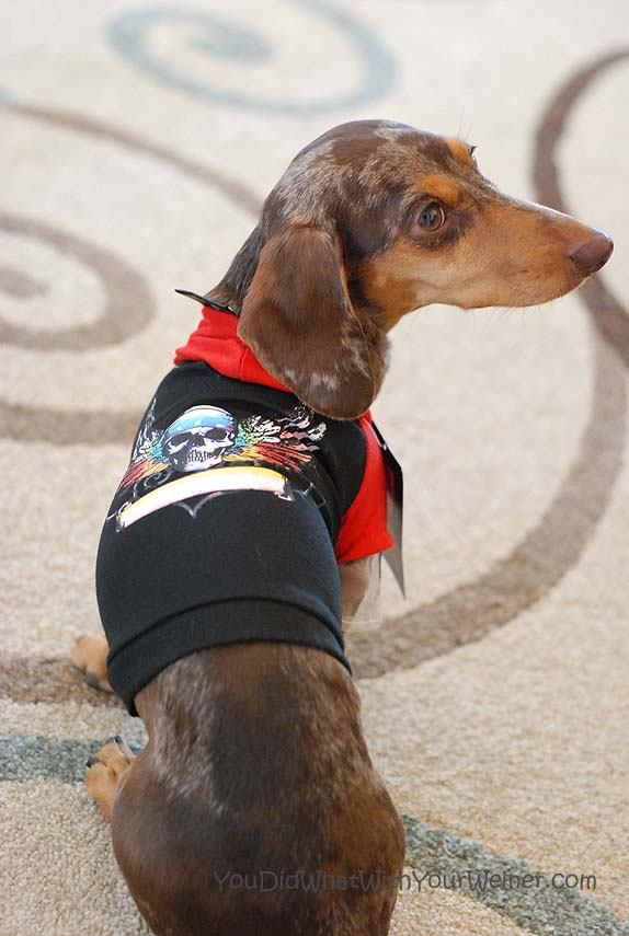 Dachshund in a Bret Michaels for Petsmart Pets Rock Hoodie