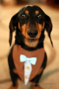 Wordless Wednesday #45: Dapper Doxie