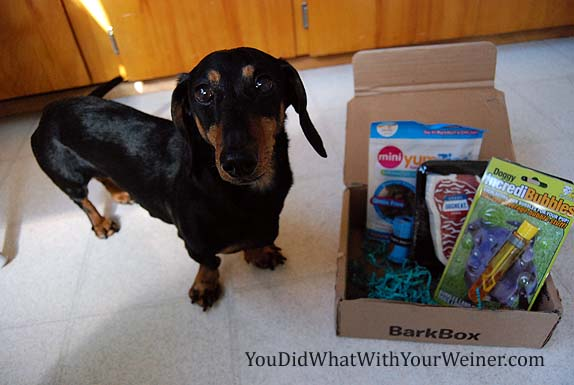 Dachshund standing next to a BarkBox full of goodies