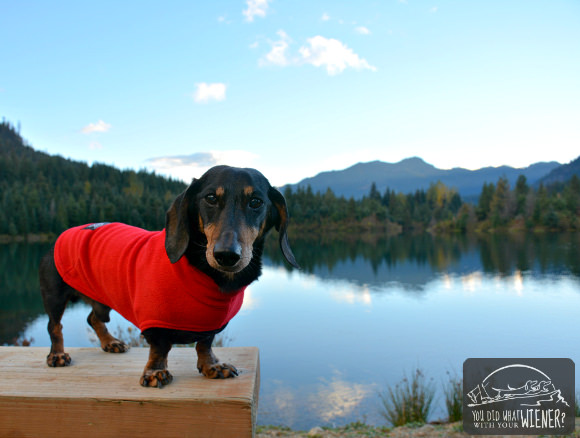 Dachshund wearing the Teckelklub Fuzzie jacket
