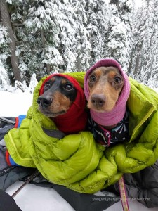 Two Dachshunds in the snow snuggled in a down jacket