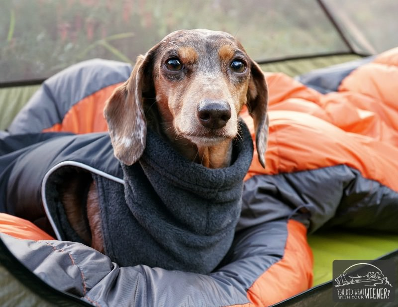 Dachshund wearing a Teckelklub Pinnacle jacket camping