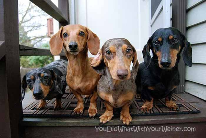 Four wiener dogs standing next to each other to show the color differences