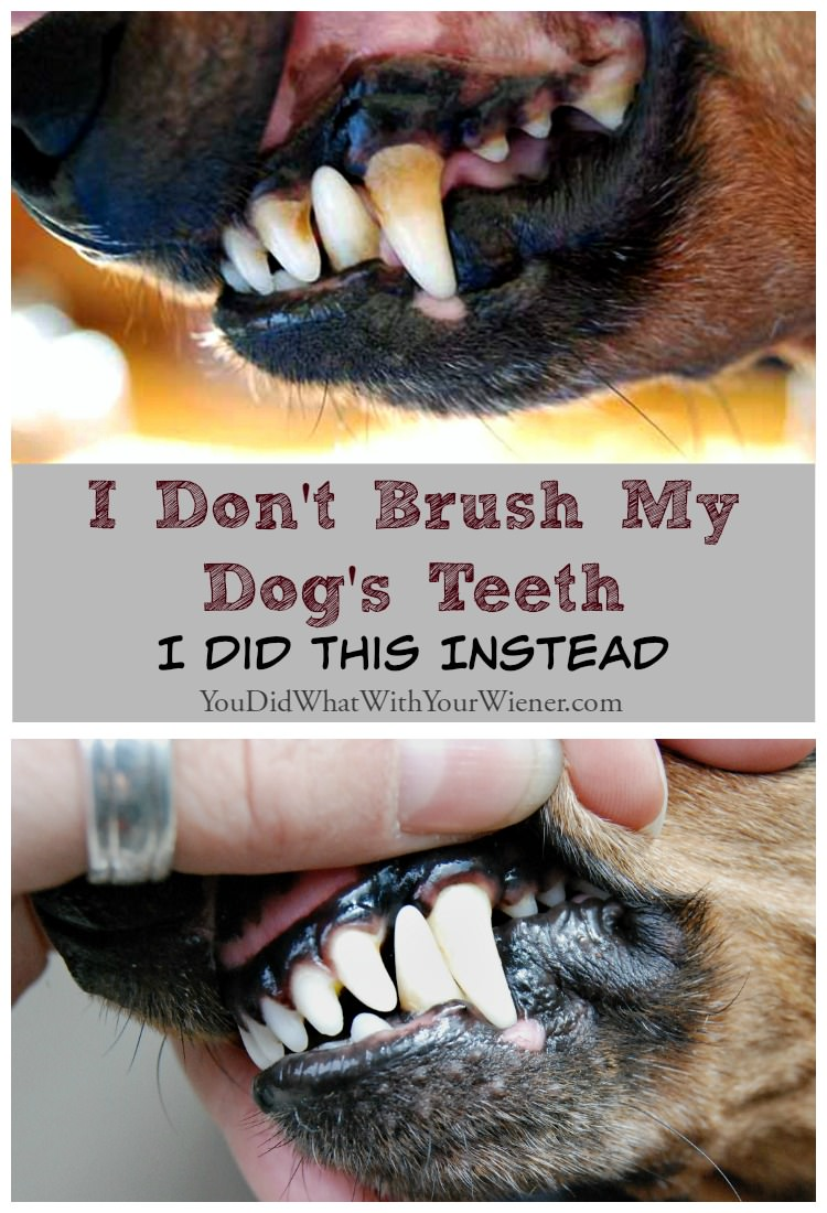 Canine Teeth Cleaning : I don t brush my dog s teeth did this instead