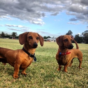 WW Pinterest Field Doxies