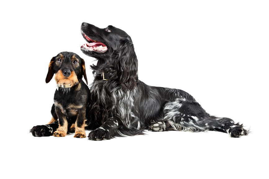 Dachshund and big dog