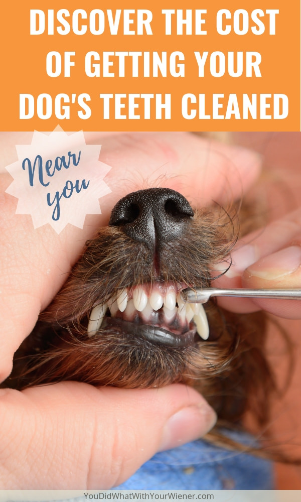 How Much Does It Cost to Get a Dog's Teeth Cleaned Under by a Veterinarian Under Anesthesia? Check out this survey of prices around the country.