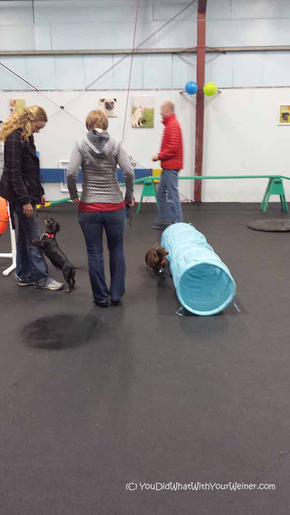 Dachshunds agility tube
