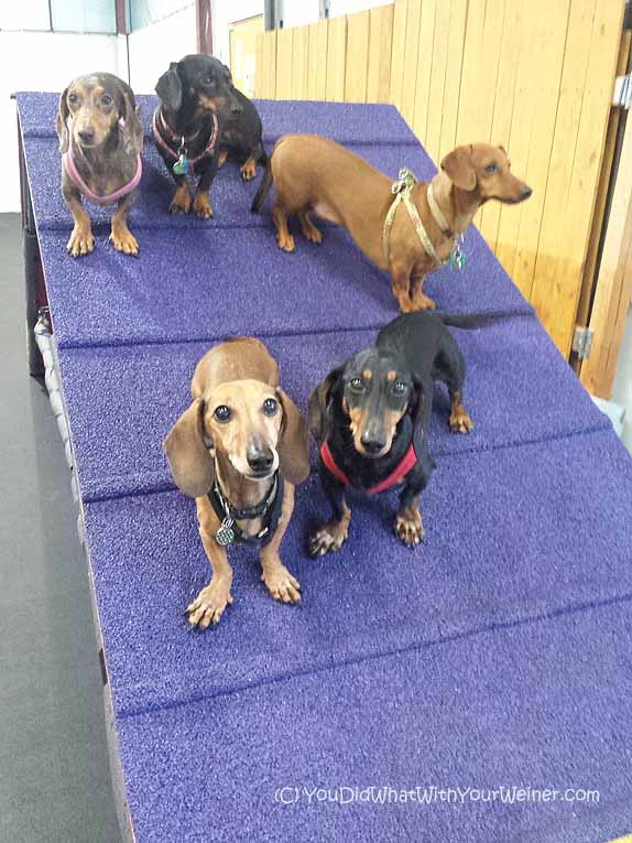 Five Dachshunds on ramp