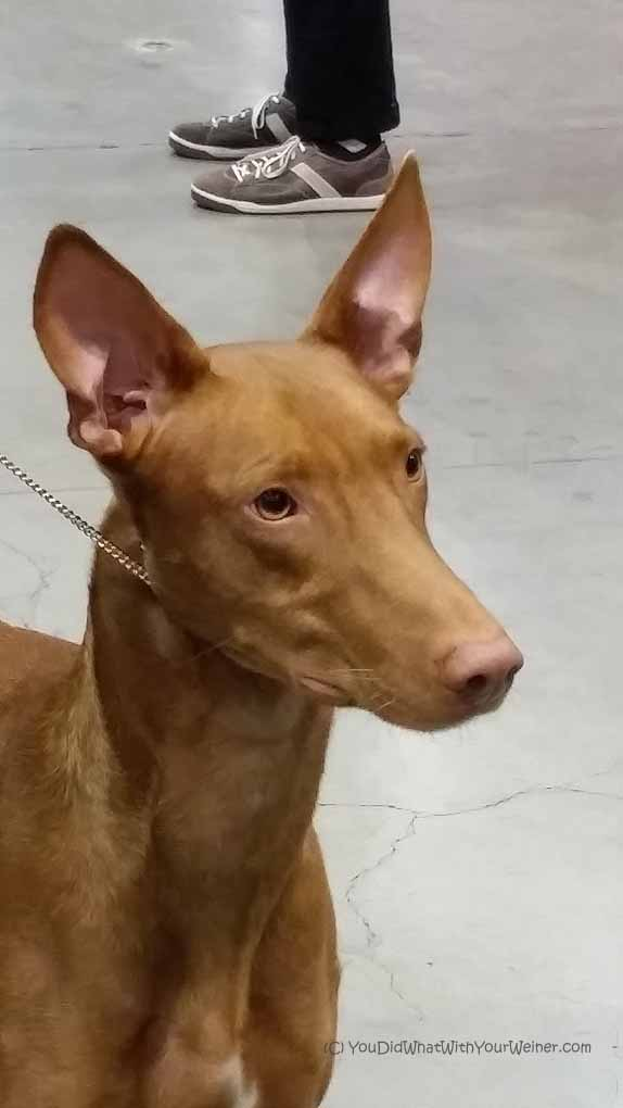 Before I set my sights on a Ridgeback I wanted a Pharaoh Hound