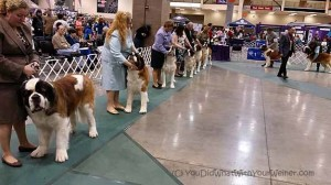 Admiring Non-dachshund Breeds at the SKC Dog Show