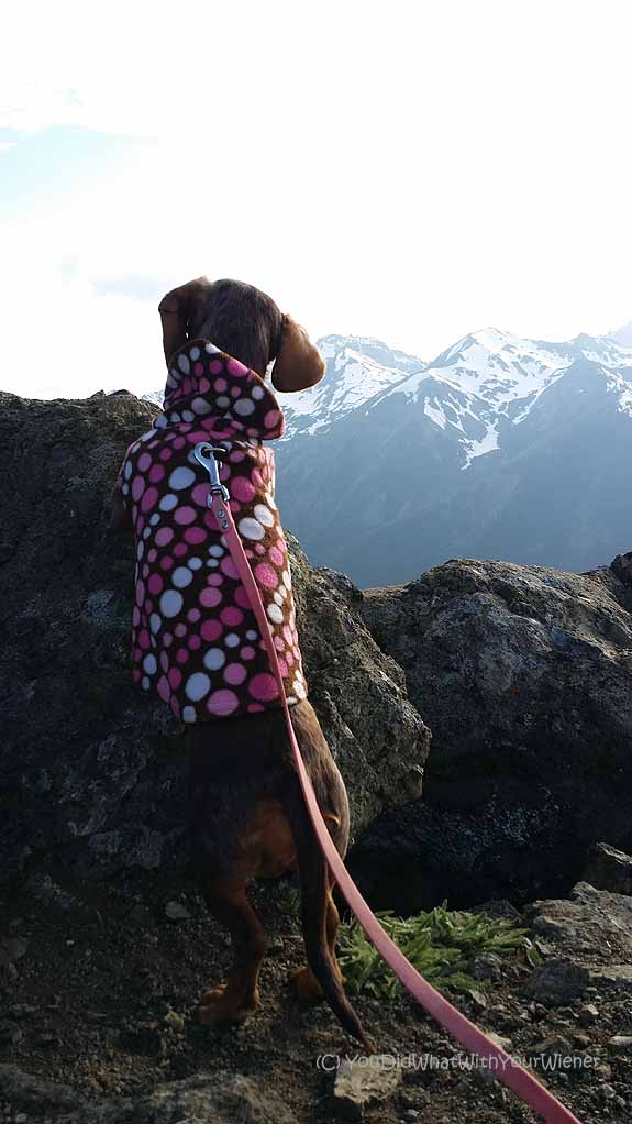 Dachshund looking at the Olympic Mountains from Marmot Pass