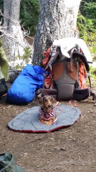 Dachshund camping
