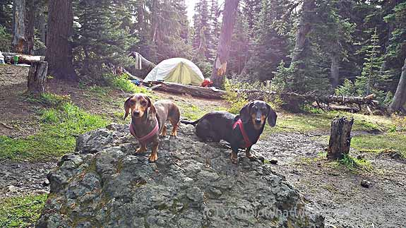 Dachshunds camping at Camp Mystery - Marmot Pass