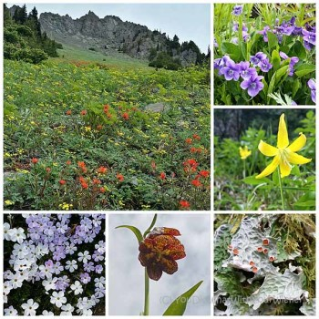 Meadow wildflowers on the way to Marmot Pass - Brothers Widerness