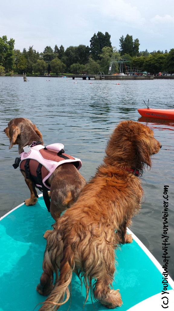Paddleboarding Dachshunds 1