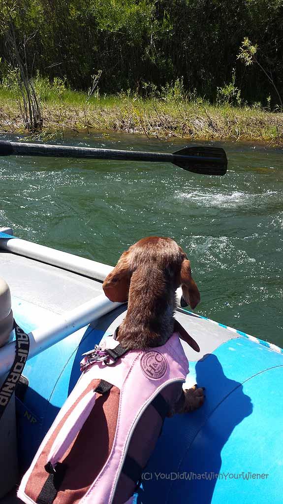 Dachshund river rafting