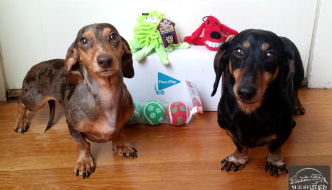 Miniature Dachshunds with the Paws and Play Exclusively Toy Box