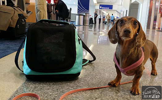 Miniature Dachshund next to the Sleepypod Air In-cabin Pet Carrier