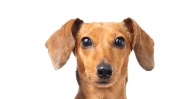 Common Dachshund Health Problems: Seizures