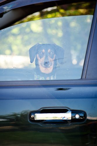 Dachshund waiting in a car