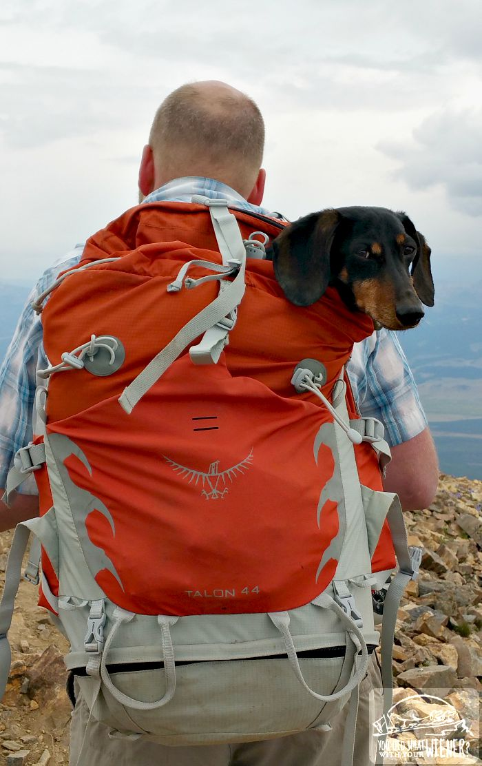 Chester the Dachshund being carried in an Osprey Talon backpack