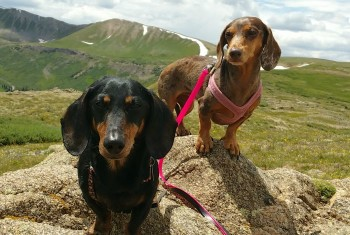 Altitude Sickness: Can Dogs Get it Too?