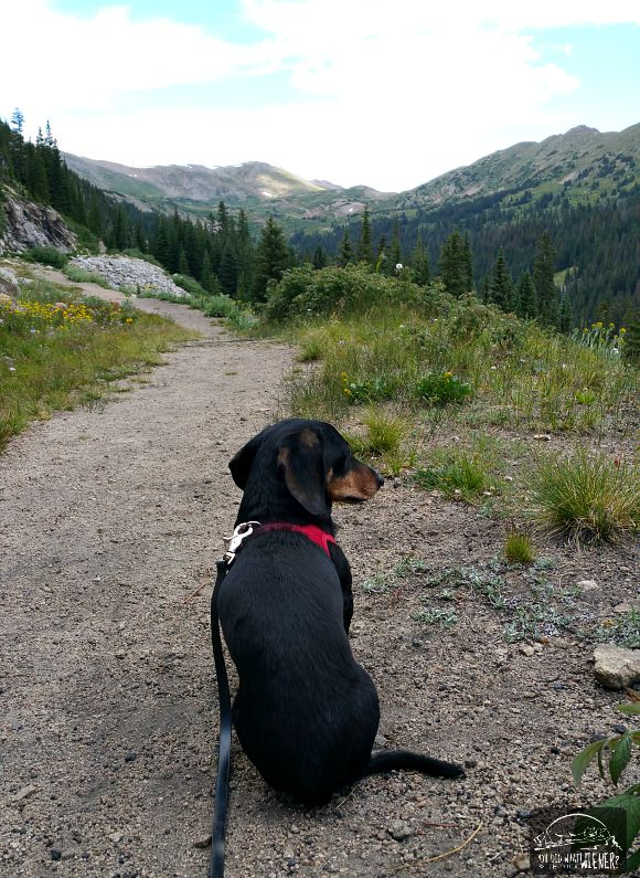 Chester enjoying the view on the Alpine Tunnel trail in Colorado