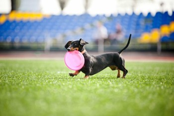 Dachshund playing with a frisbee