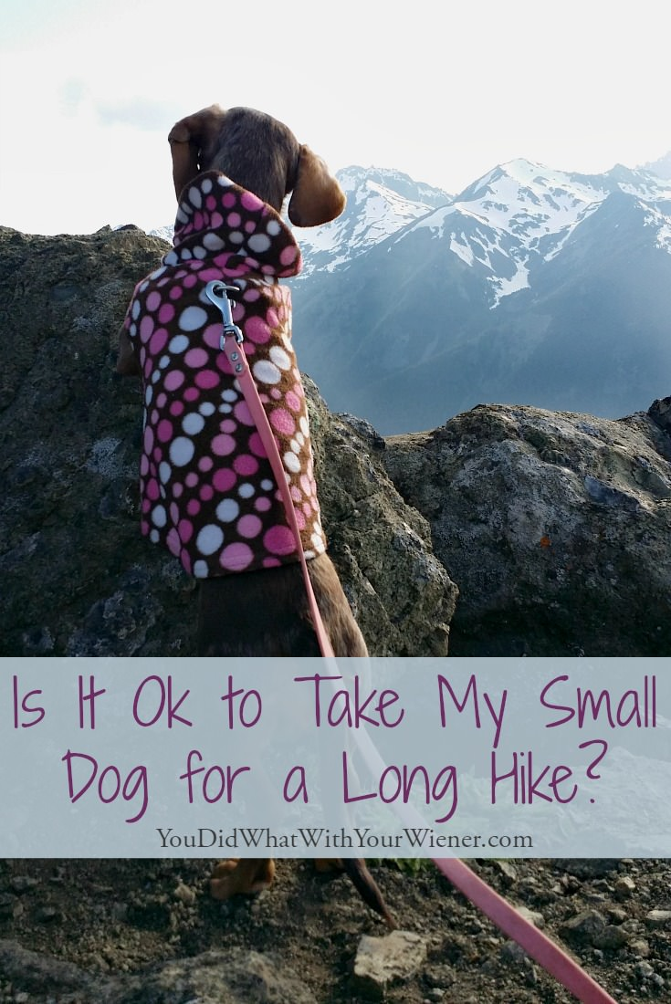 Little dogs can often hike longer than we think they can