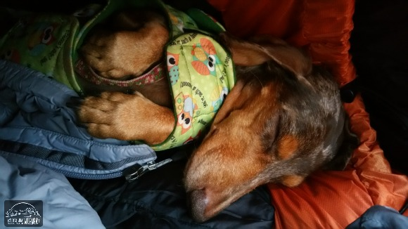 Camping with Dogs - Gretel Snuggled in the Tent