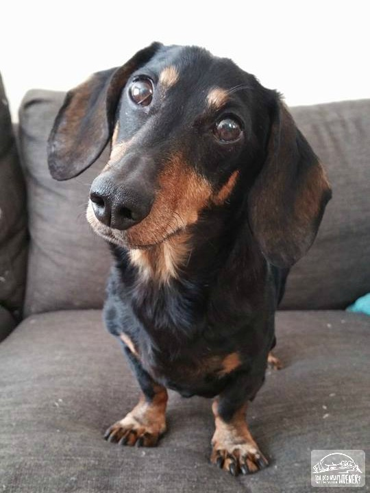 My Spunky 13 Year Old Dachshund
