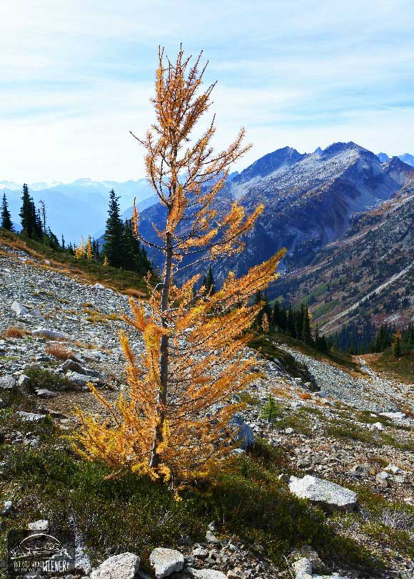 Heather Maple Pass Larch