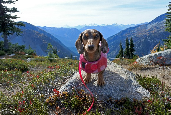 Gretel the Dachshund posing with the Interior of the North Cascades National Park in the Background