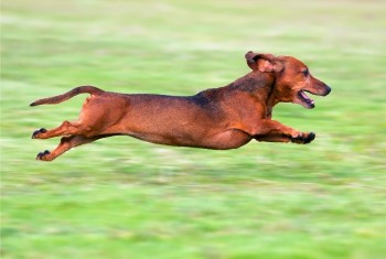 Dachshund Runs Marathon for a Good Cause