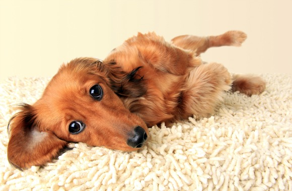 Dachshunds will melt you with their eyes