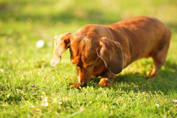 Dachshund digging - it's their natural instinct.