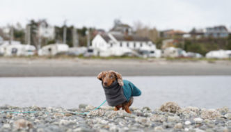 Dachshund standing on the beach in Port Townsend with buildings and boats in the background