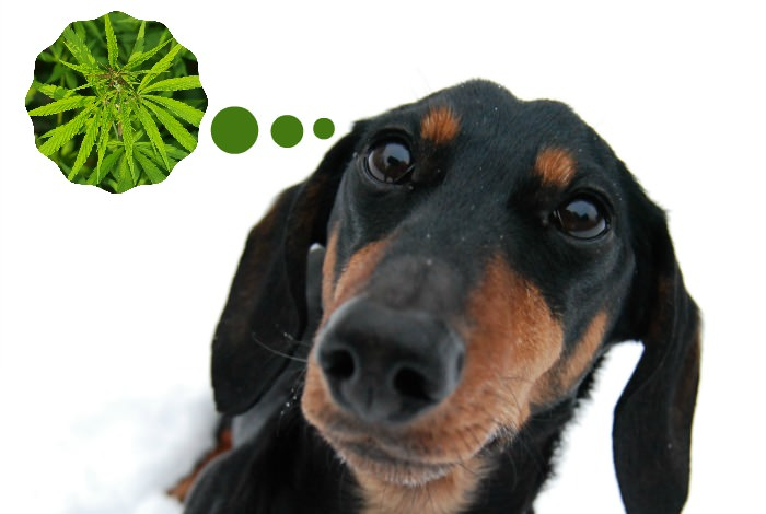 Should your dog eat treats with hemp, or CBD, oil?