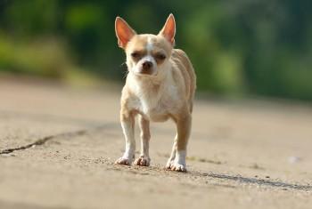 Little dog out running