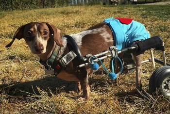 Anderson Pooper - famous Dachshund in a wheelchair