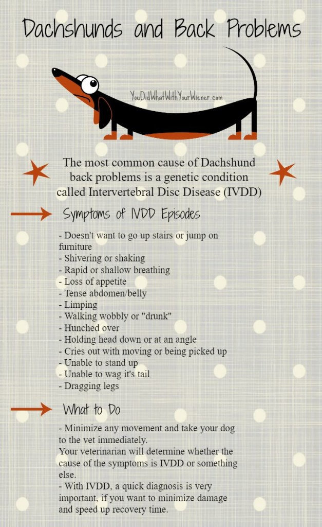 A handy chart of IVDD episode symptoms and what to do if you expect your Dachshund is having an episode