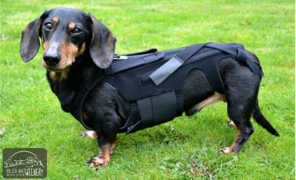 Dachshund in the L'il Back Bracer back brace to stabilize his spine and reduce pain