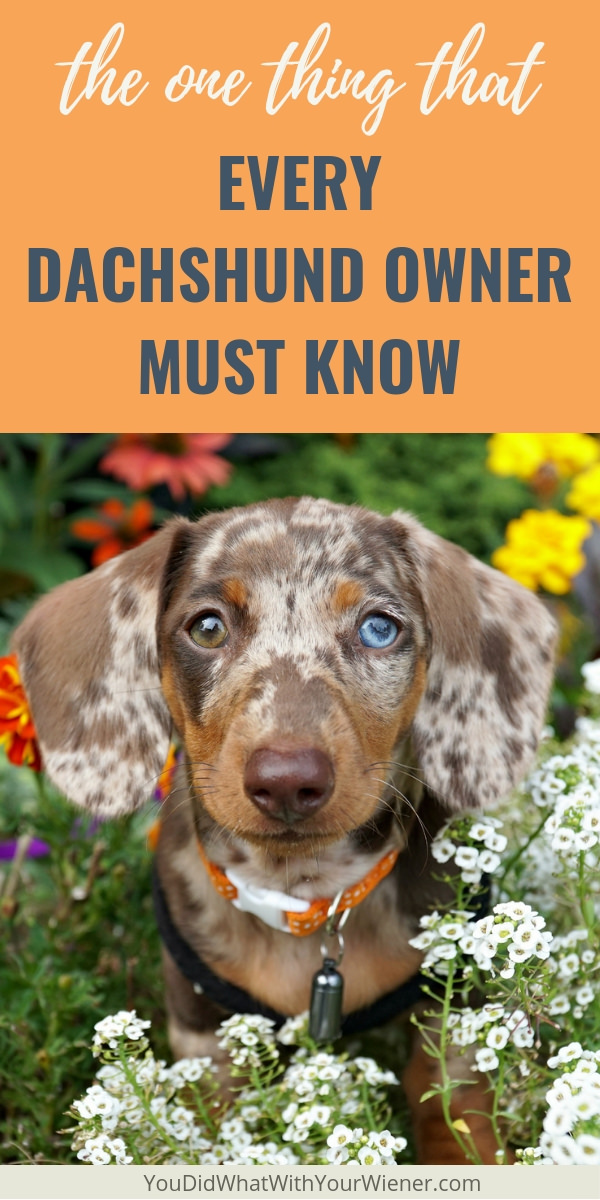 This is the #1 health issue that Dachshunds experience.