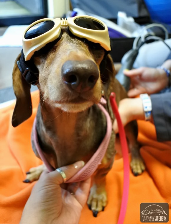Dachshund getting laser therapy to treat her IVDD