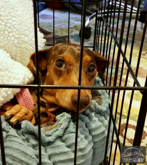 Dachshund on crate rest